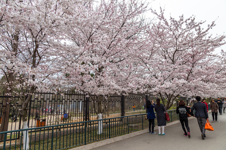 YuYuanTan Park-The Best Place To See Cherry Blossoms In Beijing travel guide