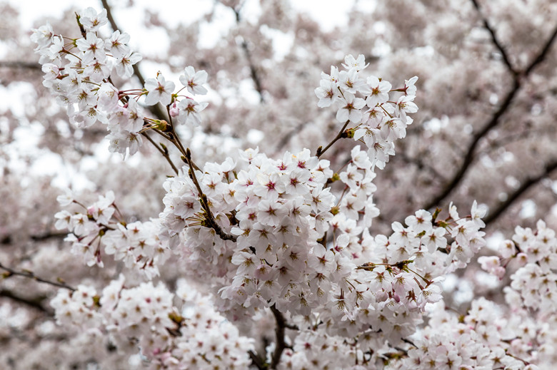 YuYuanTan Park-The Best Place To See Cherry Blossoms In Beijing